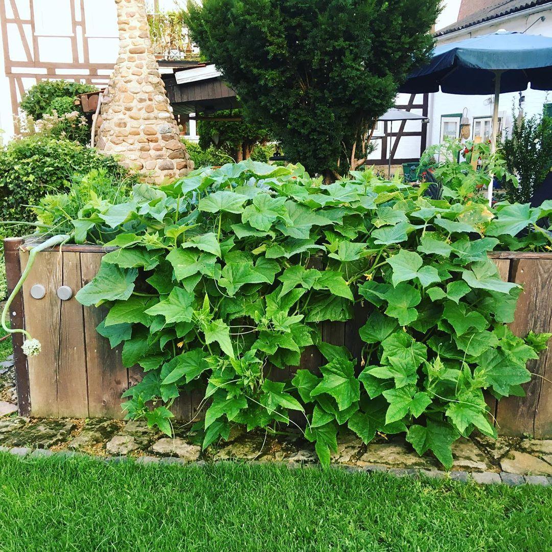 Unsere Gurken Pflanzen Sind In Fahrt Gekommen Gurken Hochbeet Garten Garden Homeandgarden Cucumber Ostfalen Zwischenhar Garten Pflanzen Hochbeet