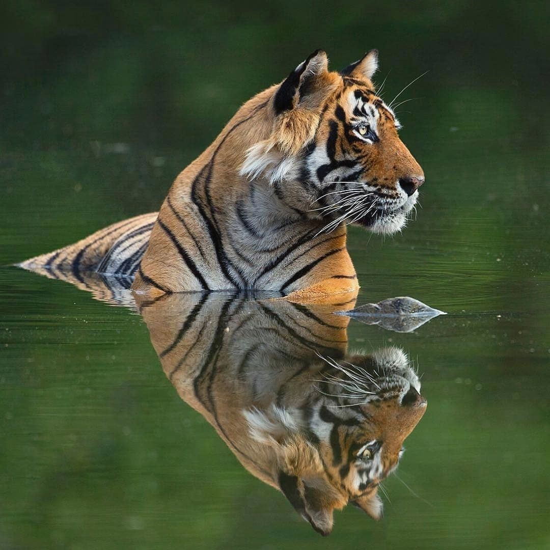Photo by @sachin_rai_photography Tiger in Ranthambore National Park.#tiger #nature #wildlife #ranthambore #wildlifewarrior…