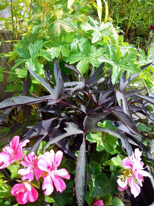 les ph m res mon balcon terrasse pinterest planter des fleurs jardinage et terrasse. Black Bedroom Furniture Sets. Home Design Ideas