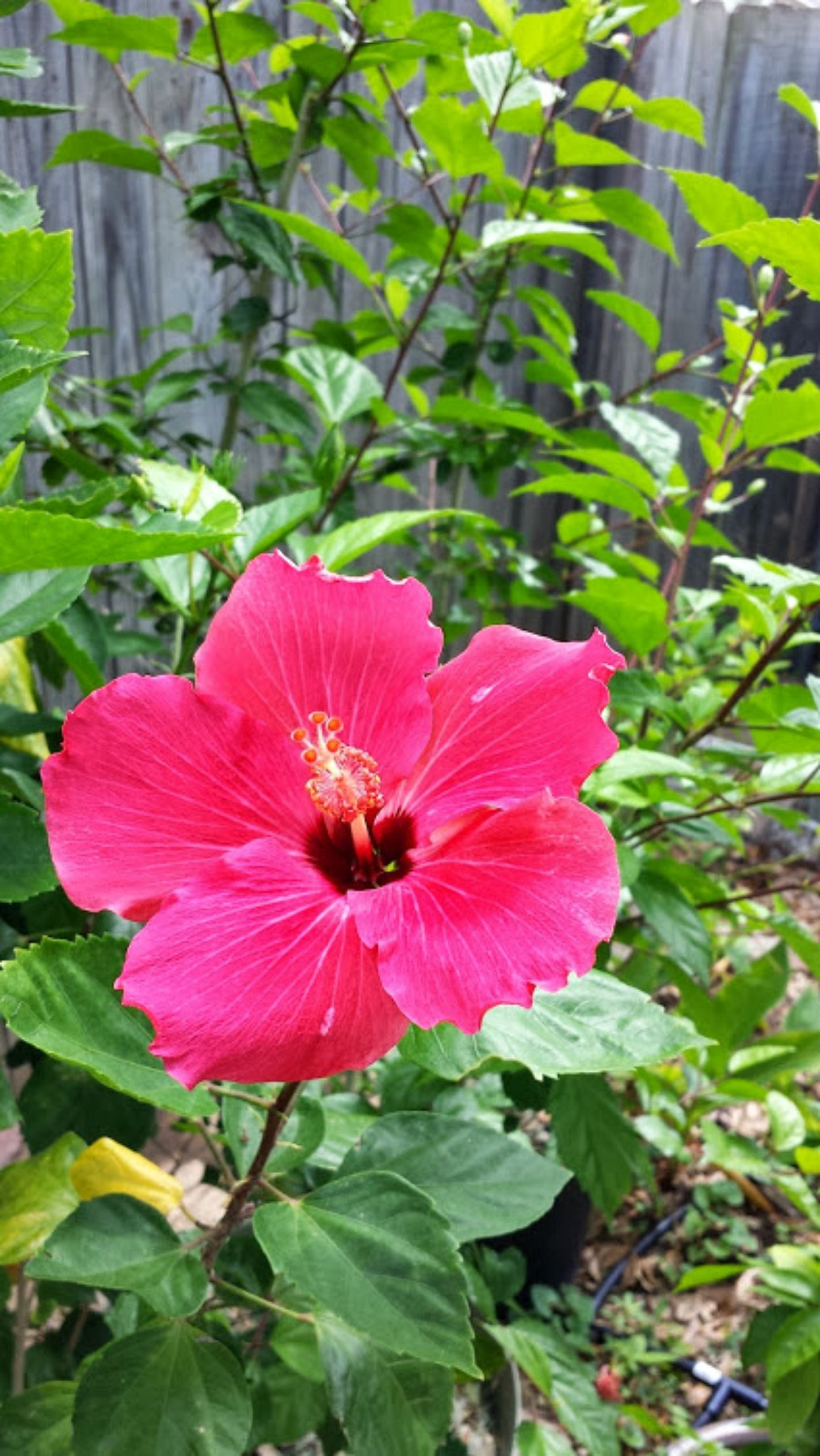 Rooted Hibiscus Starter Plant Hibiscus Hibiscus Plant Starter Plants