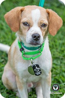 Princeton Mn Beagle Chihuahua Mix Meet Pow A Dog For Adoption