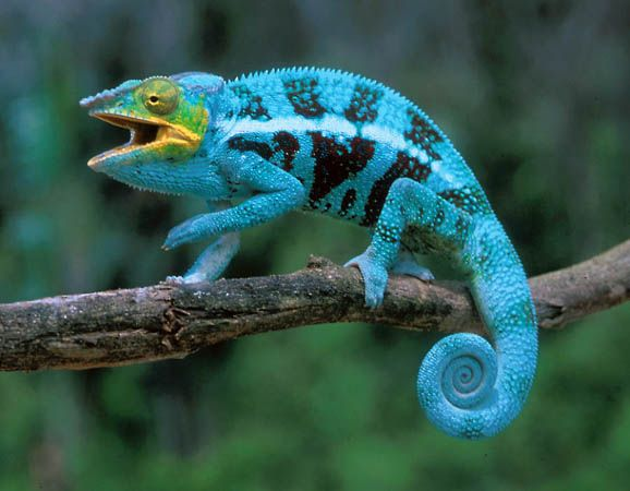 4f69a2cf3bf595c62c5af97445d1c836 - How To Get A Chameleon To Open Its Mouth