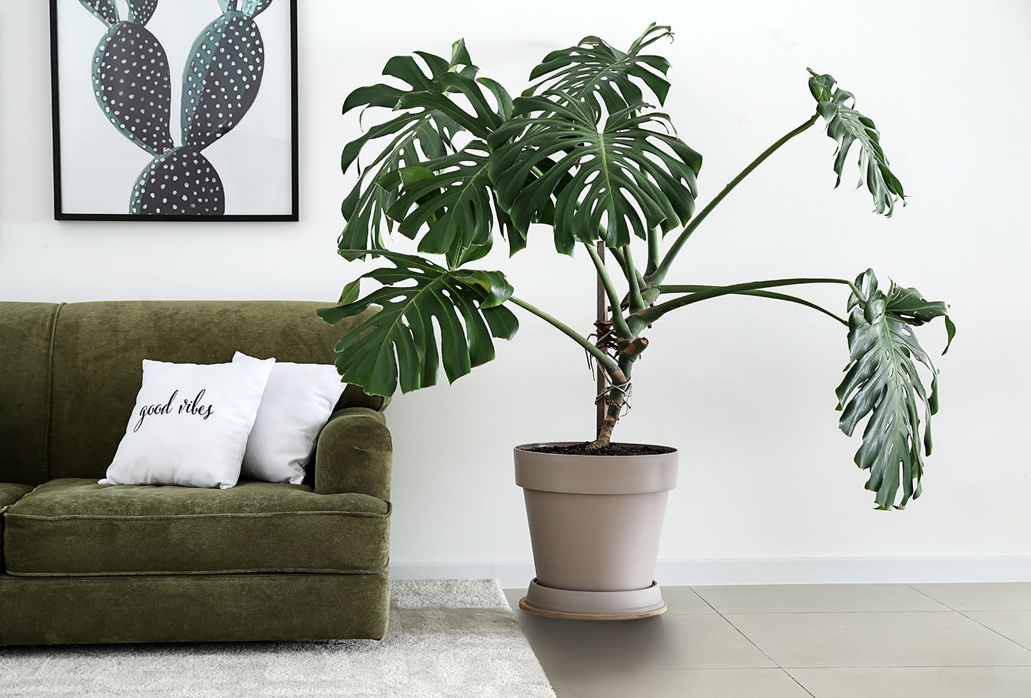 Is There A Difference Between Monstera And Split Leaf Philodendron