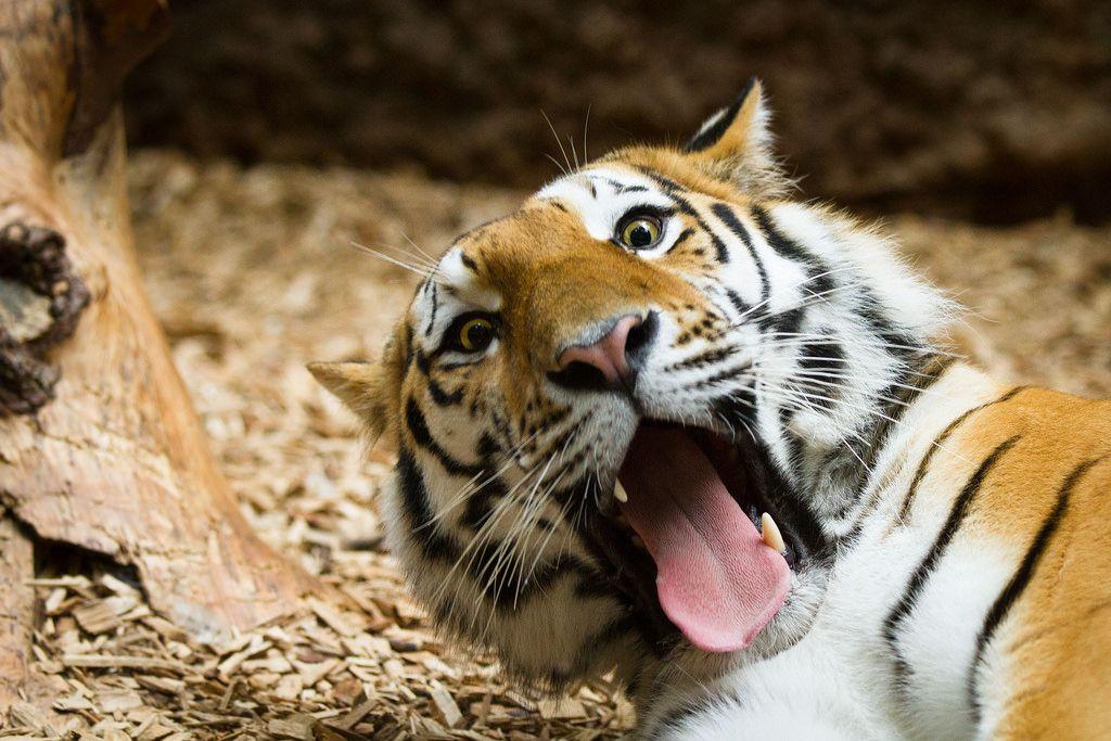 Смешные картинки тигрицы