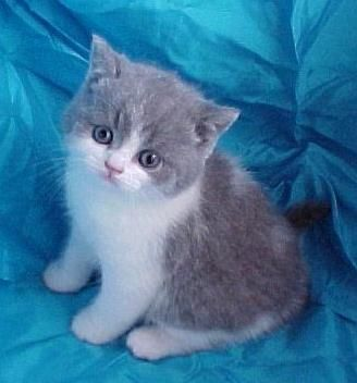 Blue White Bi Colour British Shorthair Cats Cats And Kittens Animals