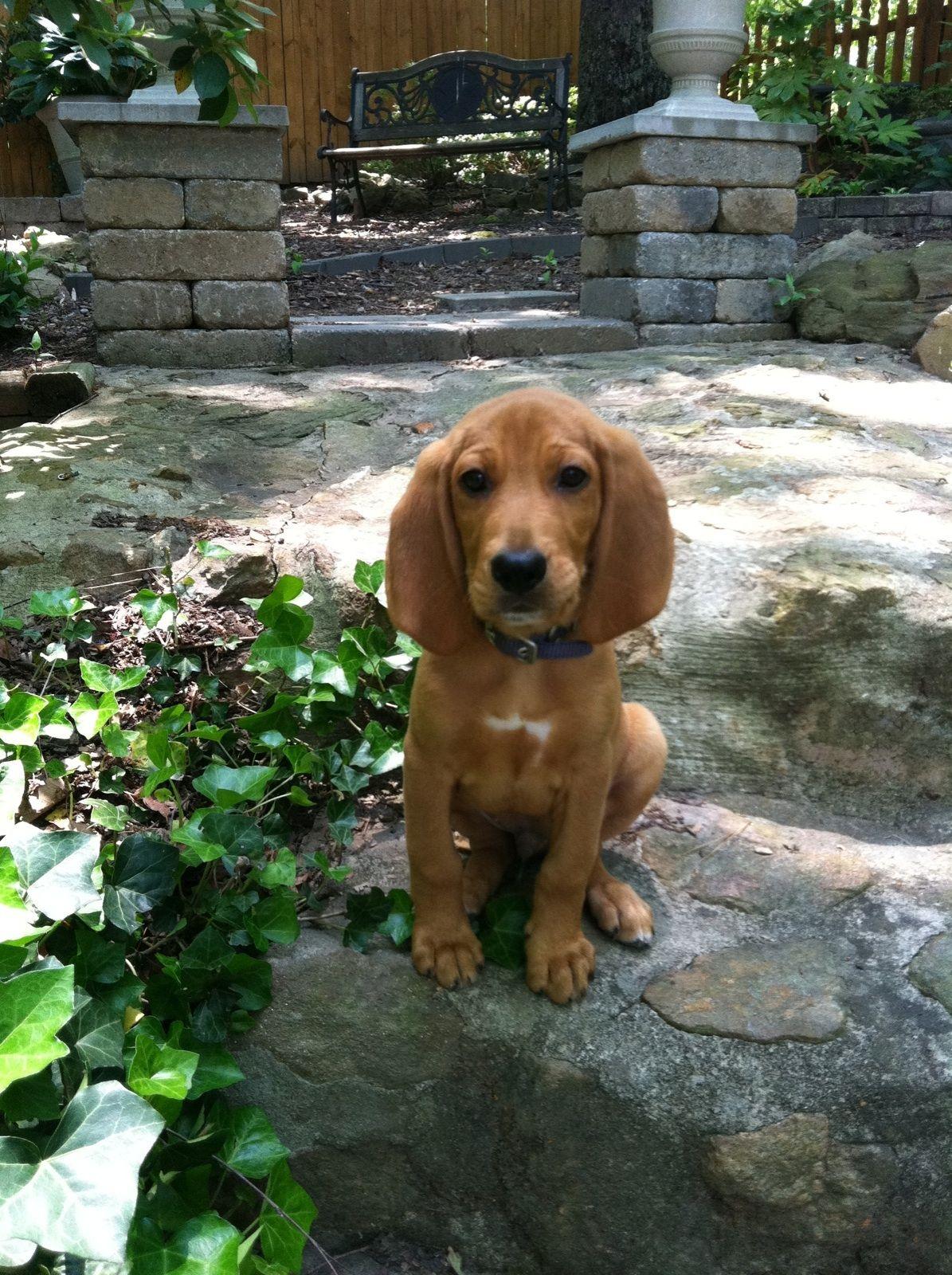 Mason My Redbone Coonhound Puppy So Cute Coonhound Puppy