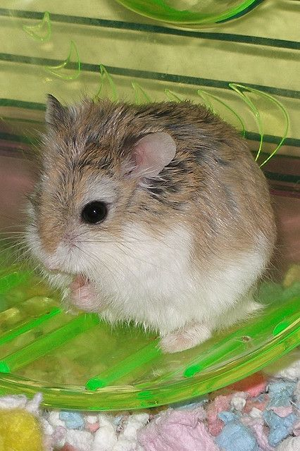 Robo Dwarf Hamster I Just Got One Today I Named Her Pippa She