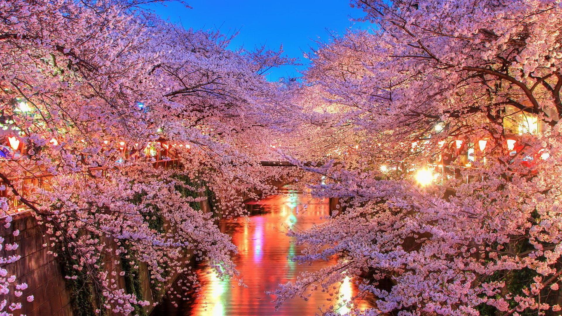 Download 1920x1080 Wallpaper Japan Cherry Blossom Tree Flowers Full Hd Hdtv Cherry Blossom Wallpaper Flower Desktop Wallpaper Aesthetic Desktop Wallpaper