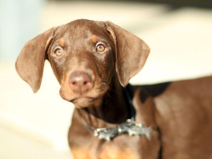 American Doberman Puppies For Sale In California 2021