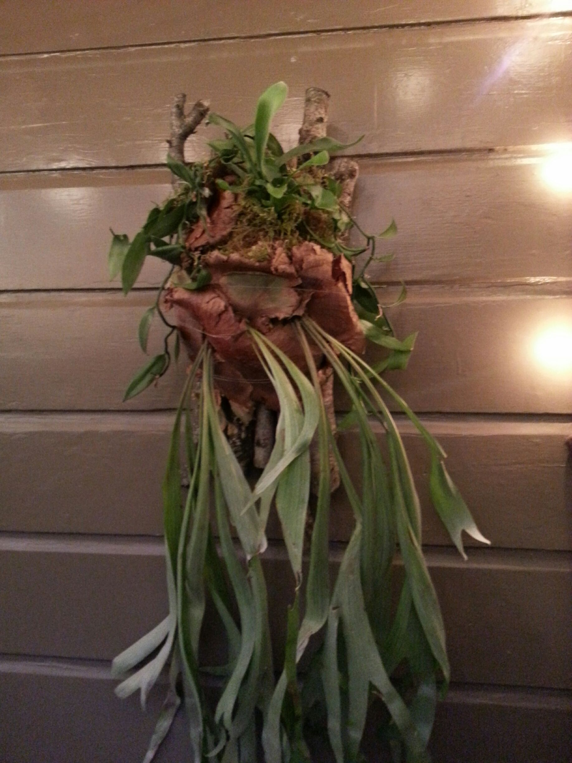 Found this large Staghorn fern on Craigslist. Mounted it on apple ...