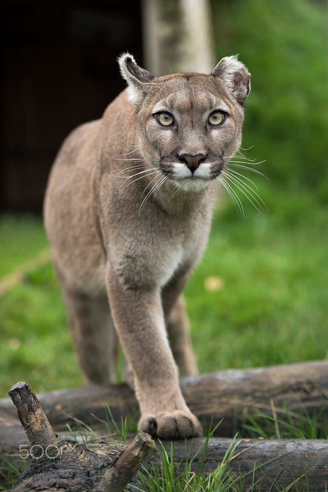 Mountain Lion by Colin Langford on 500px
