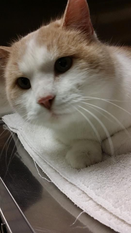 Meet Clint, an adoptable Domestic Short Hair - buff Cat | Jewell, IA | All of our cats and kittens are tested for feline  leukemia and FIV, spayed/neutered, current on...
