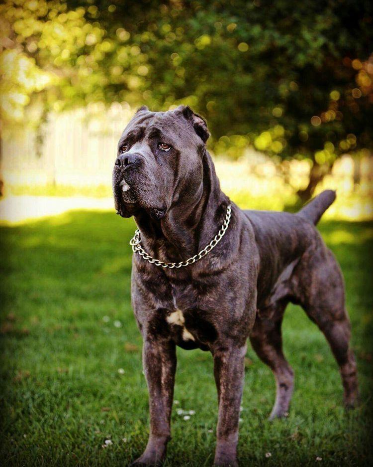 Pin By Jennifer Bianculli On Dogs Cane Corso Black Pitbull Cane Corso Dog Cane Corso Italian Mastiff Corso Dog