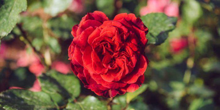 Η λίπανση της τριανταφυλλιάς  #Φυτά