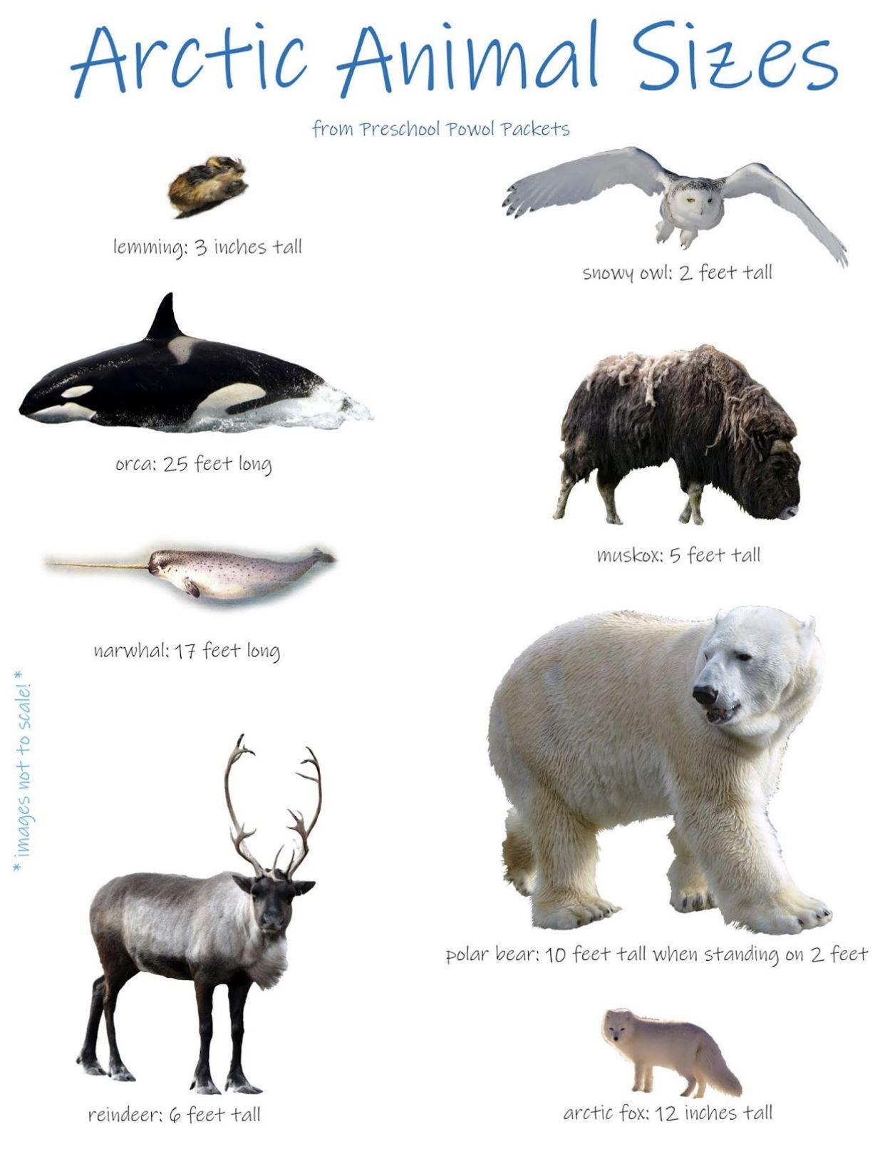 Pin By Michi On Winter Arctic Animals Arctic Animals Preschool Polar Animals [ 1626 x 1242 Pixel ]
