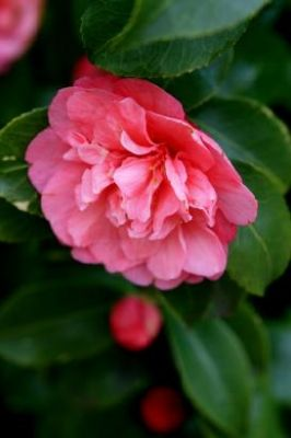 28 Different Types Of Camellias Camellia Plant Camellia Plants