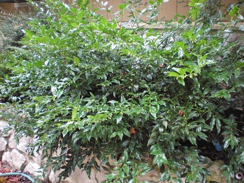 Sarcococca Ruscifolia Fragrant Sweet Box With Images Plants