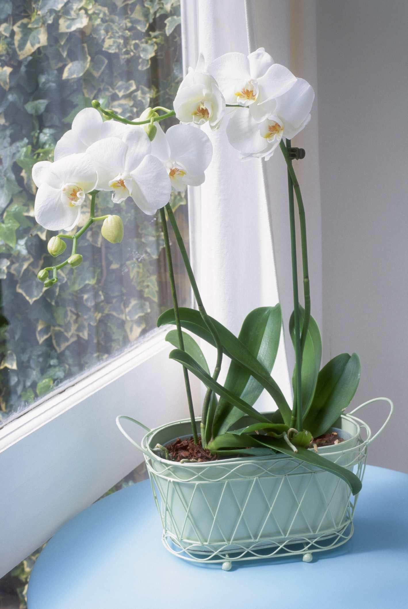 Discover Common Reasons Why An Orchid Won T Bloom And How To Fix Them With Images Orchids Garden Growing Orchids