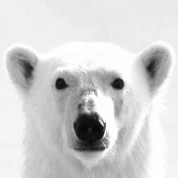Polar Bear Icon Google Search Polar Bear Bear Polar