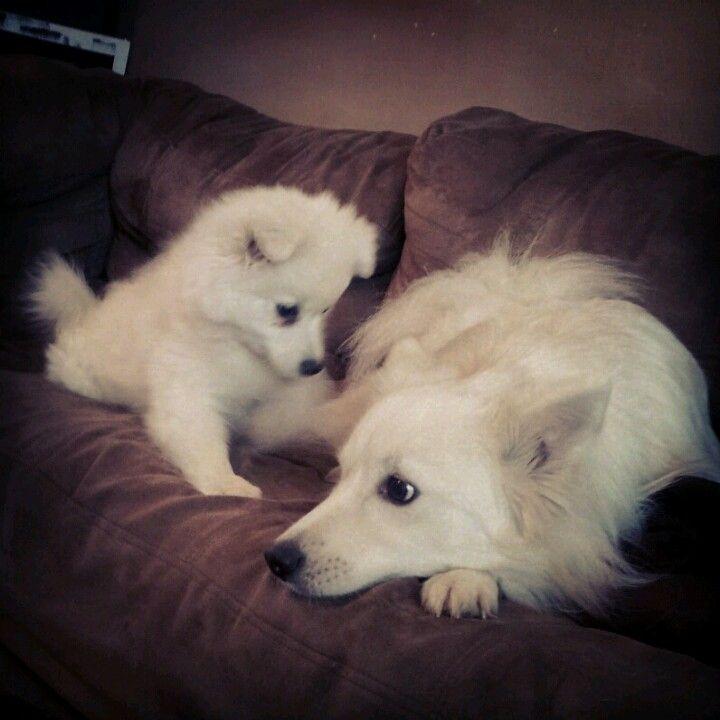 Play Tesla And Darwin American Eskimo Dog Cute Animals