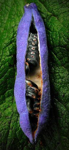 Bonita...gostaria de saber o nome da planta que produz essa vagem roxa...purple seed pod   Mandy Hart