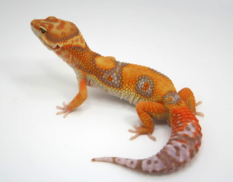 Beautiful leopard gecko.   lizards   Pinterest   Salamandras ...