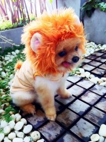 A Pomeranian Dressed Up As A Lion Pomeranian Puppy Puppies Dogs