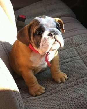 Pin By Tracy Crow On Dogs Bulldog Puppies Cute Dogs Puppies