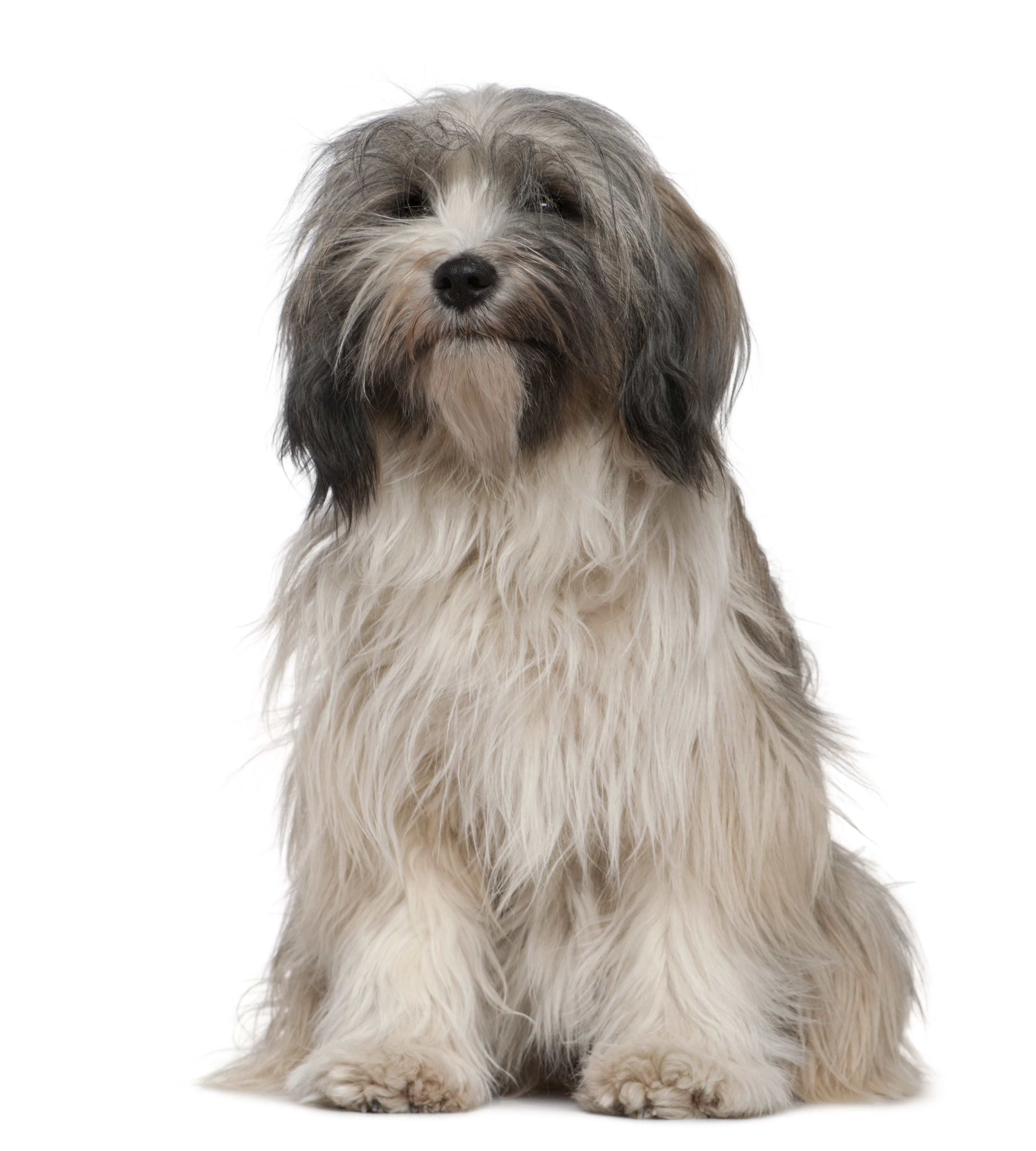 How Your Dog S Hair Can Help Diagnose Disease Tibetan Terrier Dog Breeds Terrier