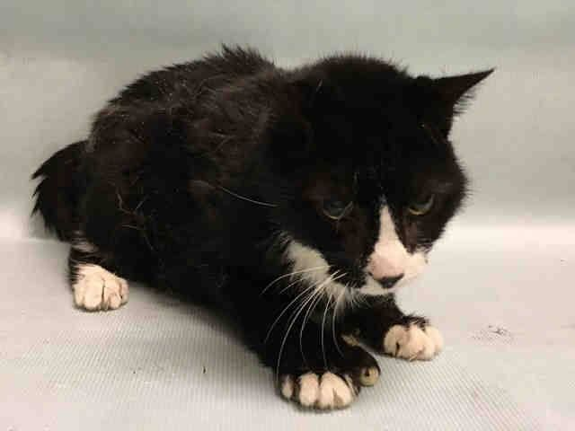 MISTY – A1098312 Miserably sick cat, owner died, on death list today! If you would like to foster or adopt and can't make it to the shelter, please write an email NOW to the Urgent Help Desk at Helpcats@Urgentpodr.org Their experienced volunteers will assist you one-on-one with rescues and the application process. Transport can be arranged by rescues to the homes of approved fosters or adopters within 3-4 hours of New York City