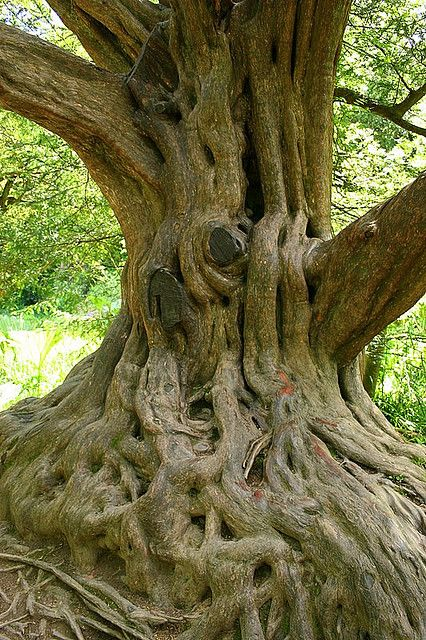 Beautiful Old Tree in Blarney Castle Gardens ~ Ireland.