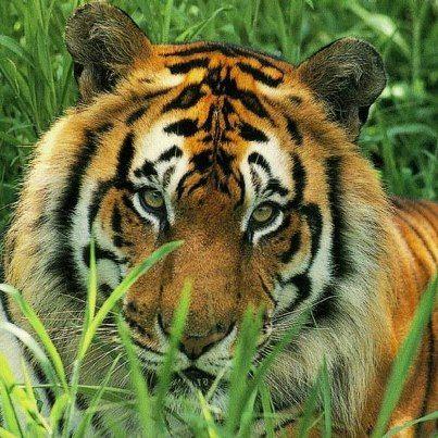 Tigers - endangered