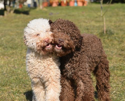 Lagotto Romagnolo Italienische Truffelhunde Zucht High Emotion Hunde Truffel Haustier