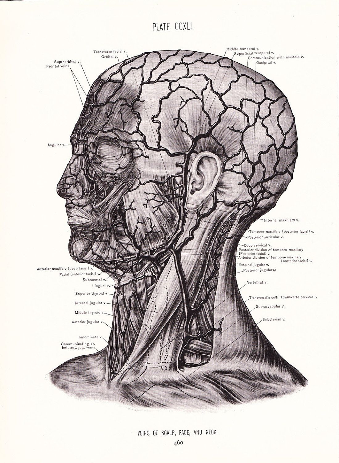 1926 Human Anatomy Print - Veins of Face Neck and Scalp - Vintage ...