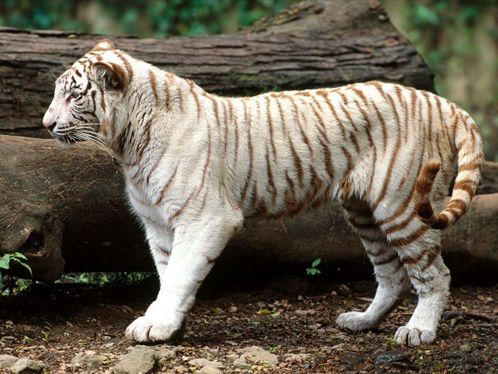 Baby White Tiger Wallpaper Funny Animal Pet Tiger Baby White