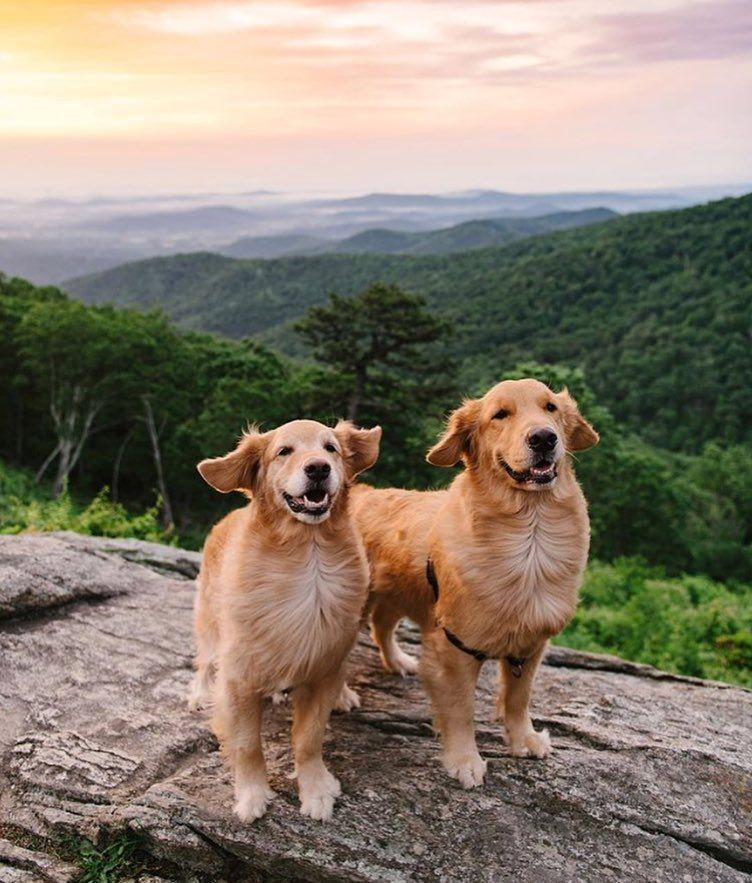 Golden Retrievers On Instagram Current Status Majestic