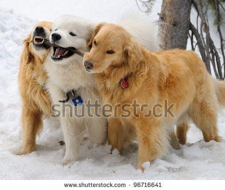 Samoyed Golden Retrievers Samoyed Dogs Samoyed Polar Bear Dogs