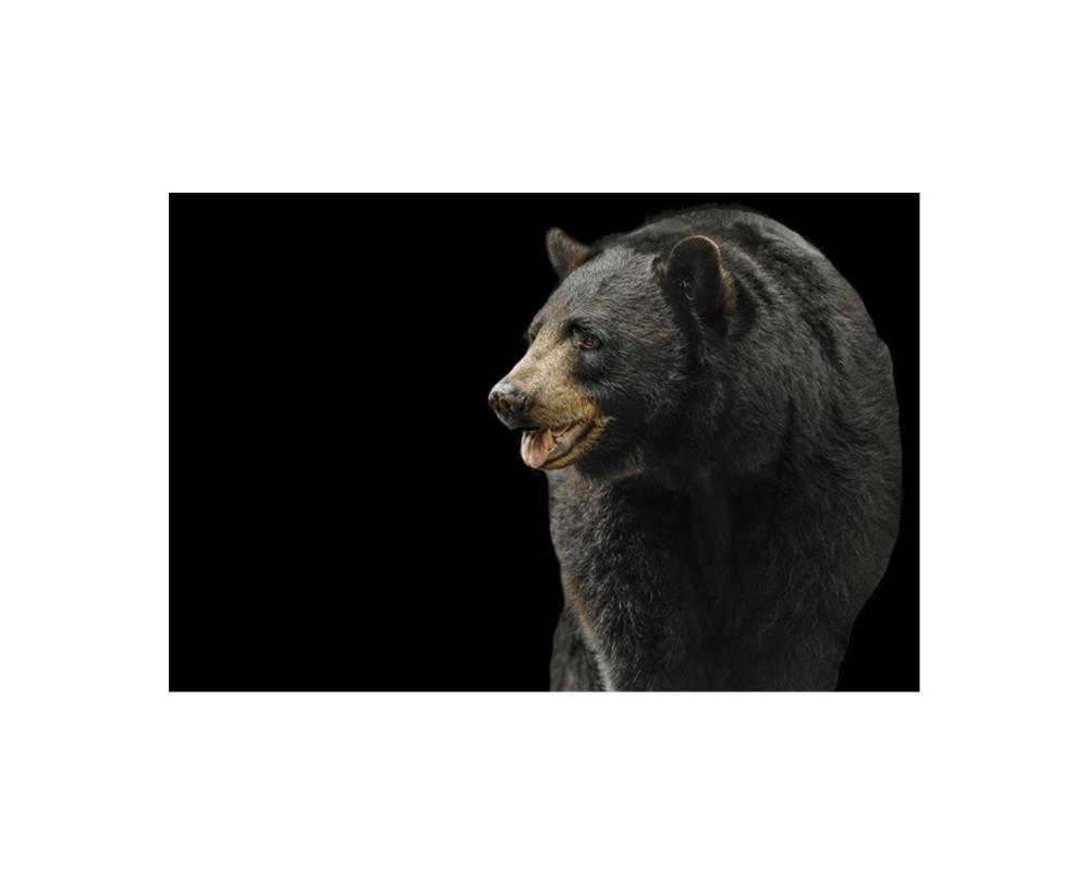 Leftbank Art 52mw0135 Art Black Bear Catanzaro