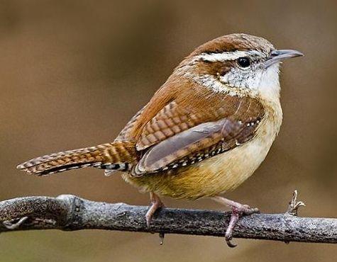 Carolina Wren Backyard Birds Pet Birds State Birds