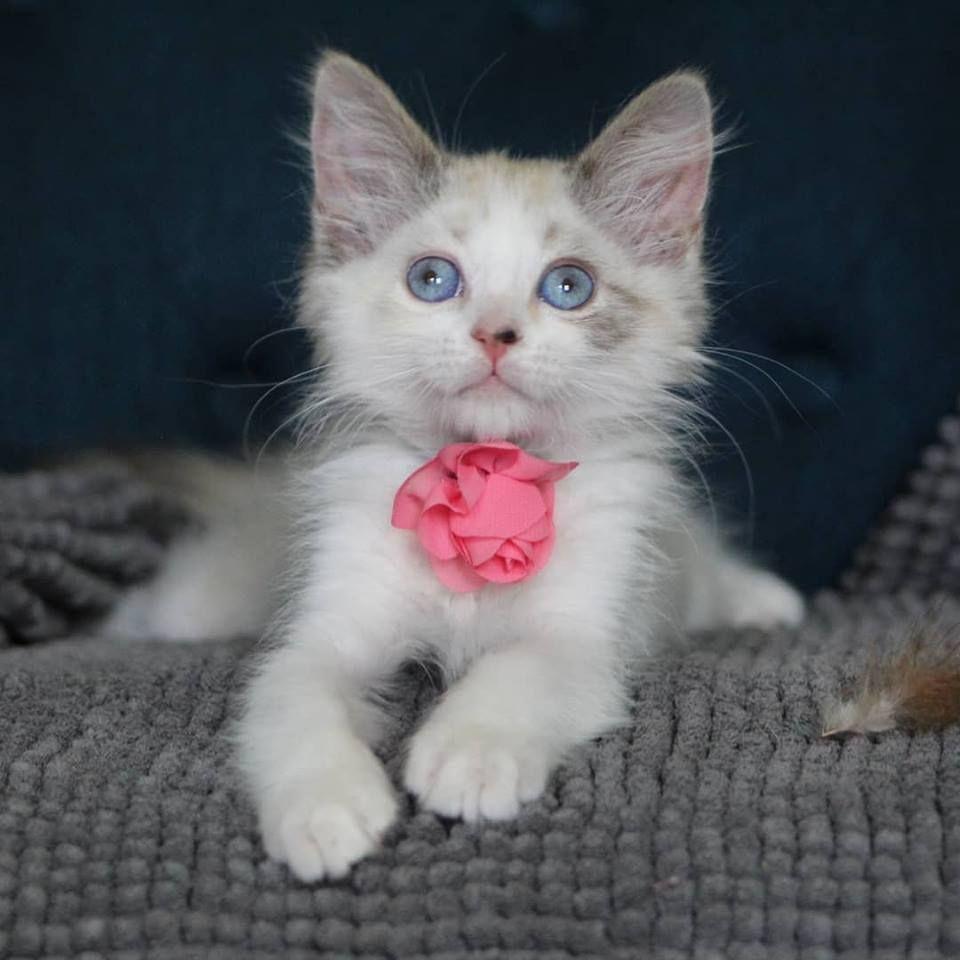 Adopt Ashe On Kittens I Love Cats Tiny Kitten