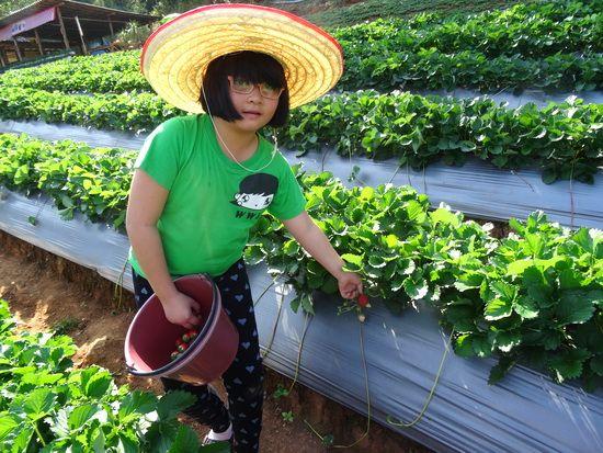 Samoeng : Strawberry farm in Chiang Mai, Thailand