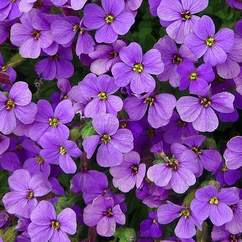 Httphealthyhomegardeningimagesgardengeek httphealthyhomegardeningimagesgardengeeklittlepurpleflowers766g mightylinksfo