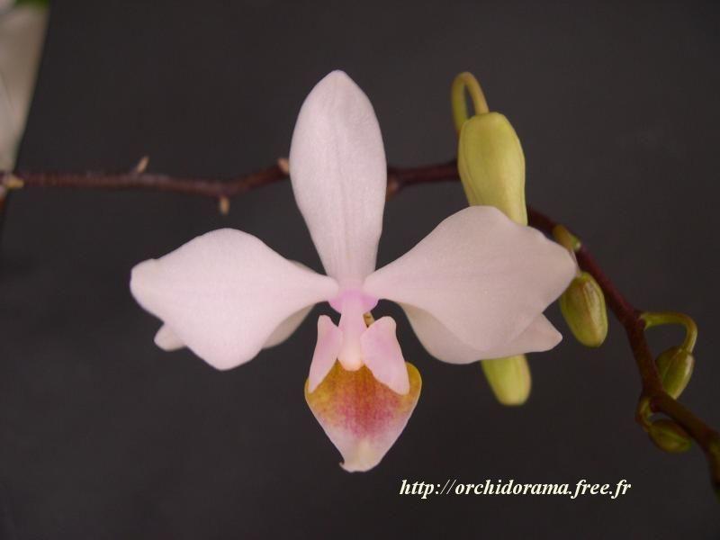 Phalaenopsis intermedia var. peach