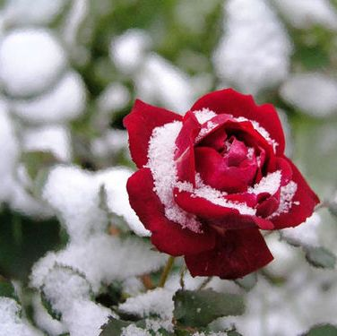 Winter Garden Rote Rose Blume Rote Rose Schone Rose