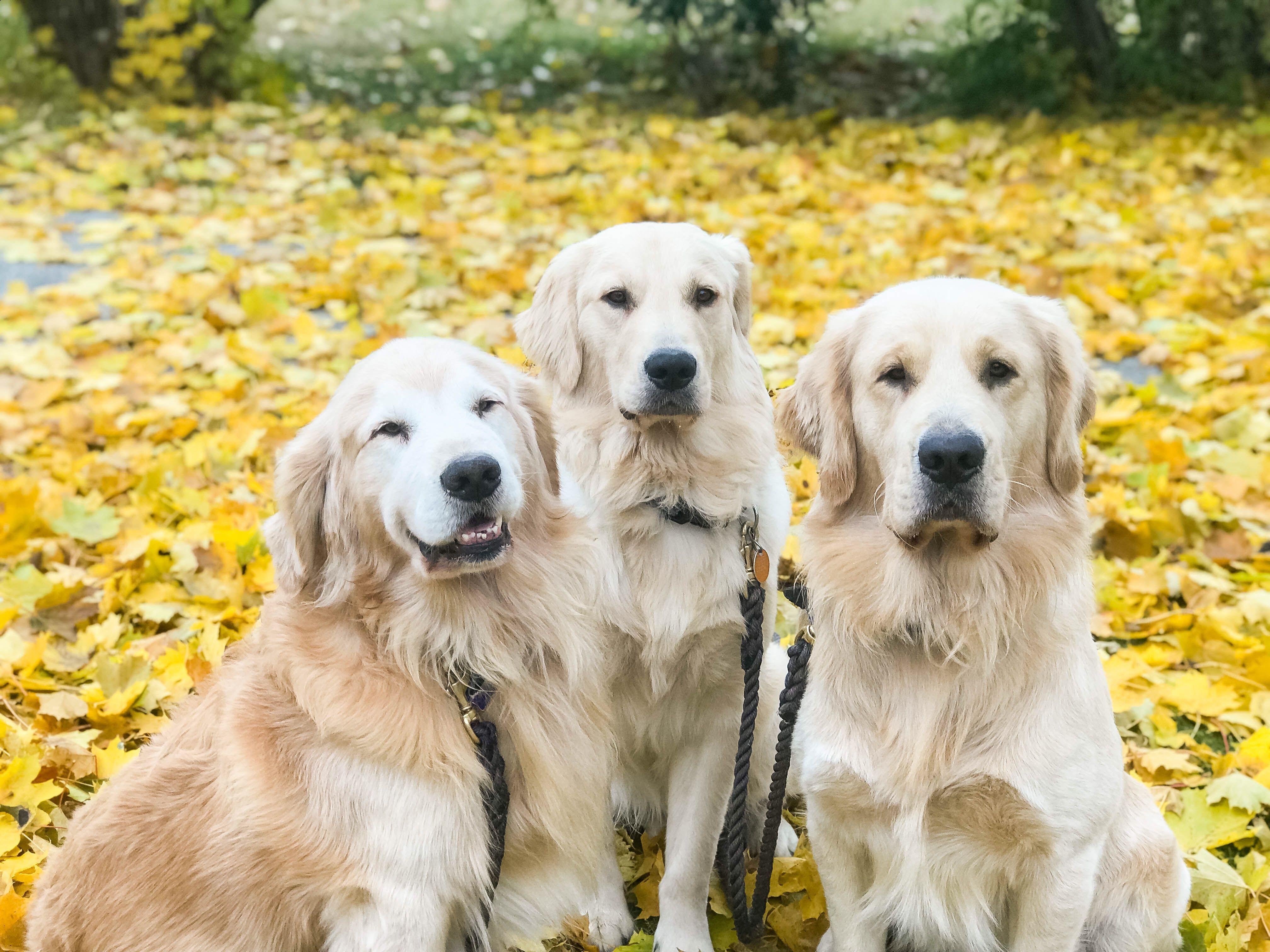 Golden Retriever Puppa Tavish With Sons Jasperthefriendlygolden