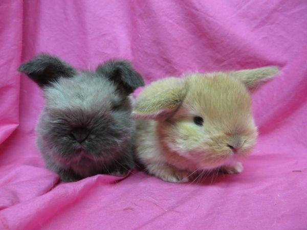 Mini Holland Lops Dwarf bunnies, Cute animals, Animals