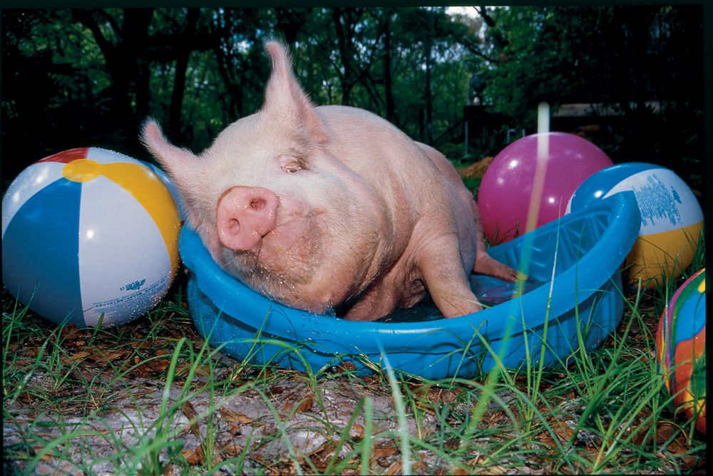 11 Reasons to Love Pigs Animals, Pot belly pigs, Vegan