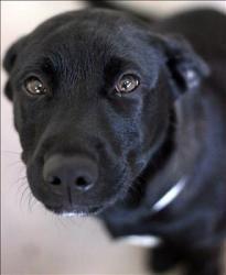 Gator Is An Adoptable Labrador Retriever Dog In Lexington Ky Hi