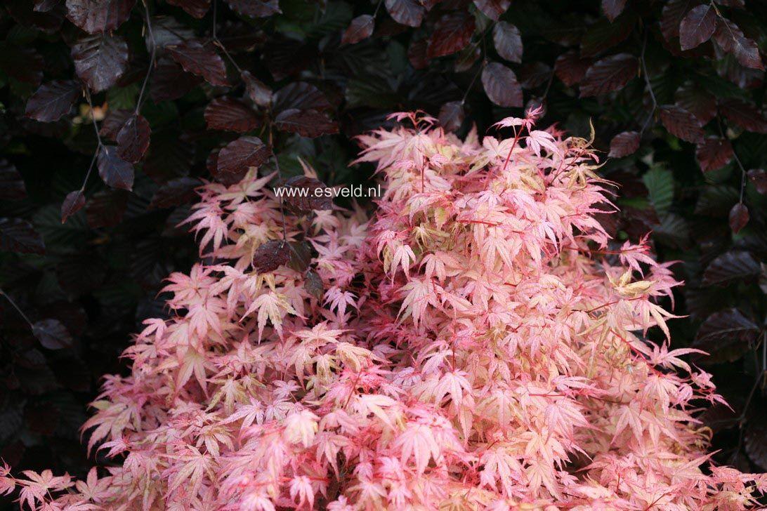 Acer Palmatum Beni Tsukasa Gardening Japanese Maples Acer