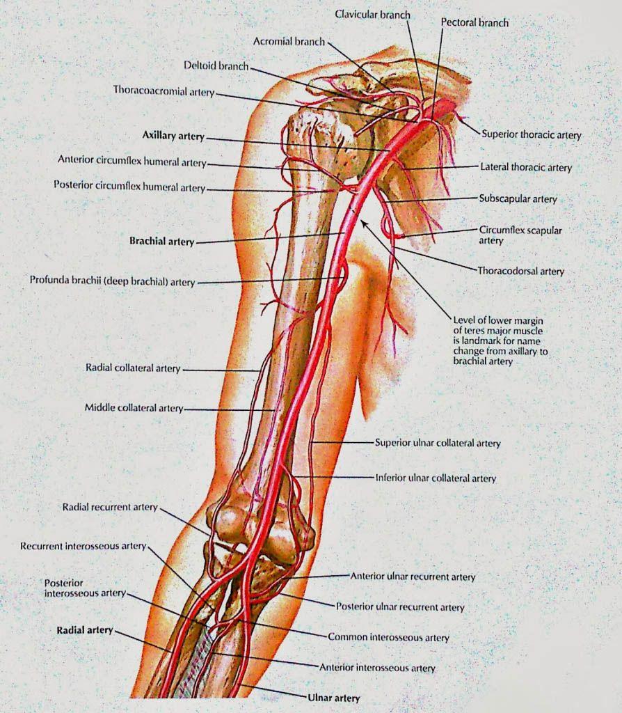 Brachial artery anatomy - www.anatomynote.com | Anatomy note world ...